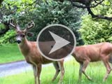 Movie: Resident deer happily munching in the garden